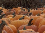 pumpkinsandcornstalk